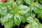 Backyard Basil Pesto + Taste This! Cookbook Giveaway
