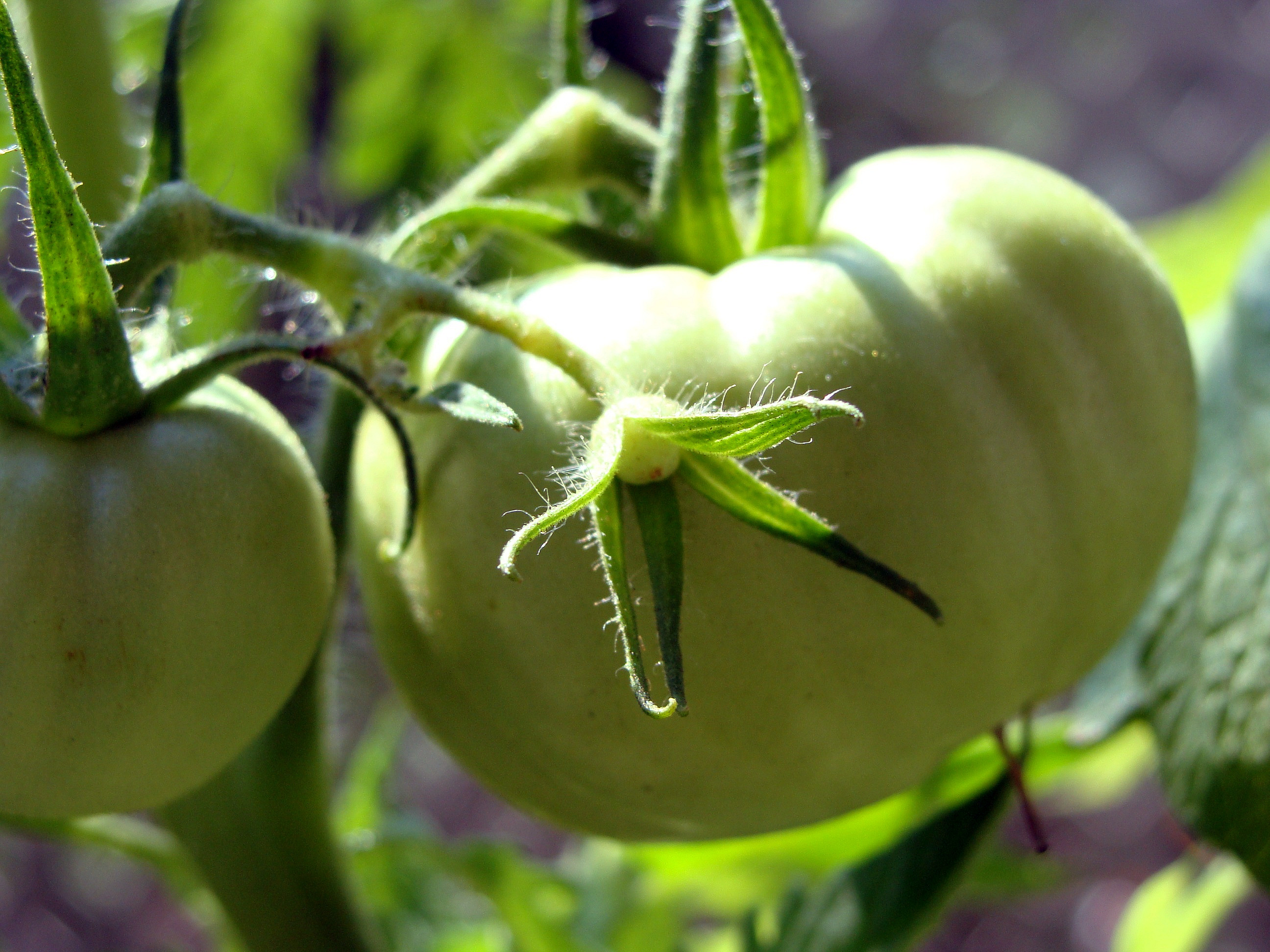 Tomatoes08.01