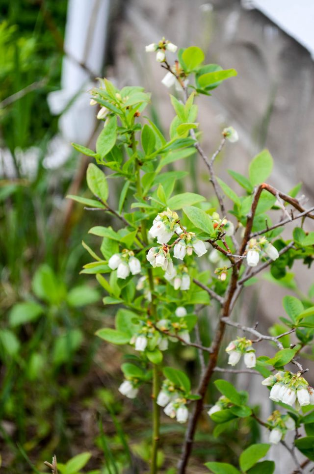 Blueberry Bush | In Jennie's Kitchen