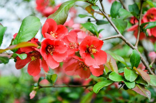 Quince Blossoms | In Jennie's Kitchen