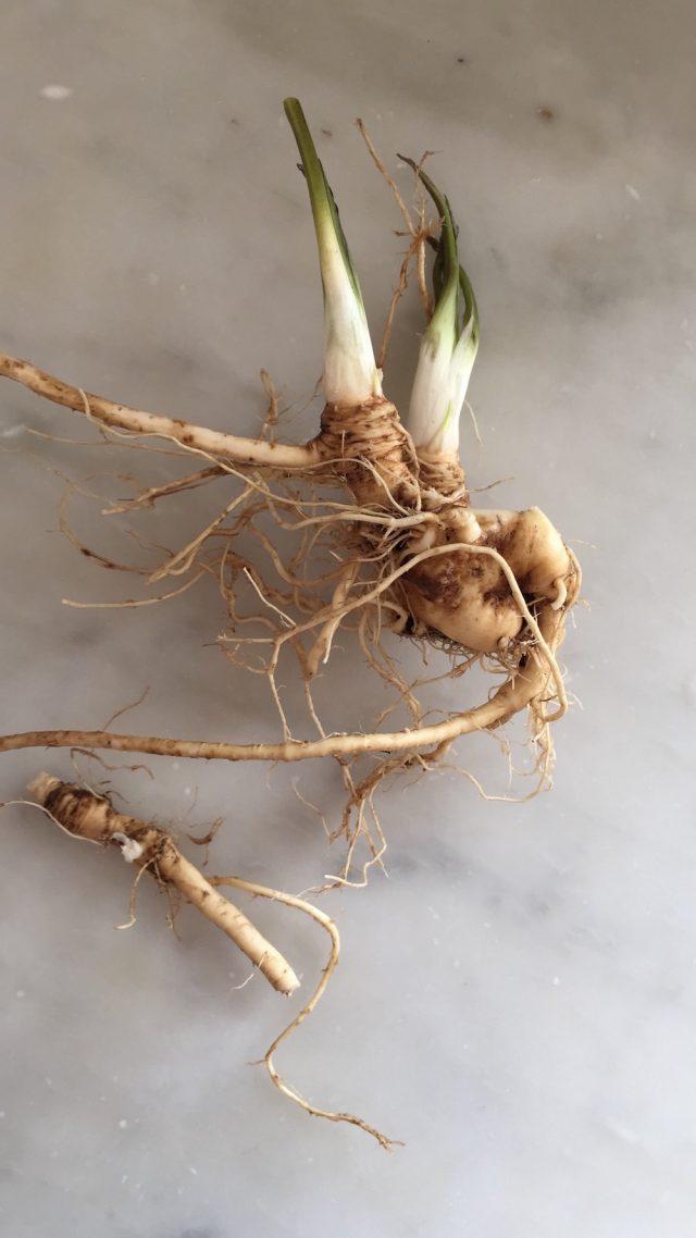 Horseradish Root | In Jennie's Kitchen